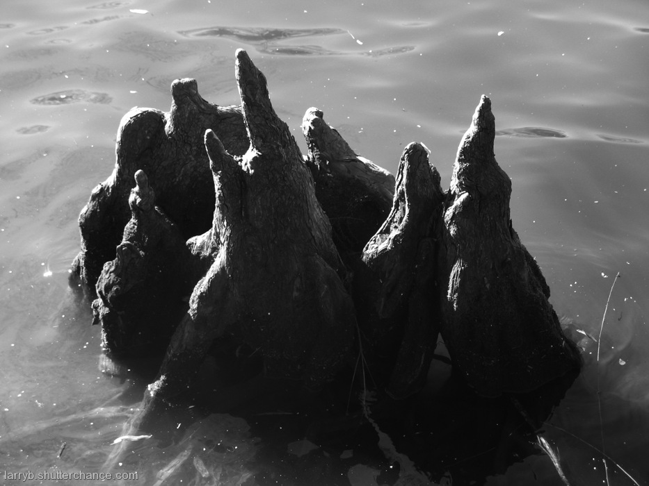 photoblog image Cypress Knees