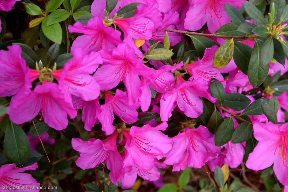 photoblog image Azalea Gardens #7