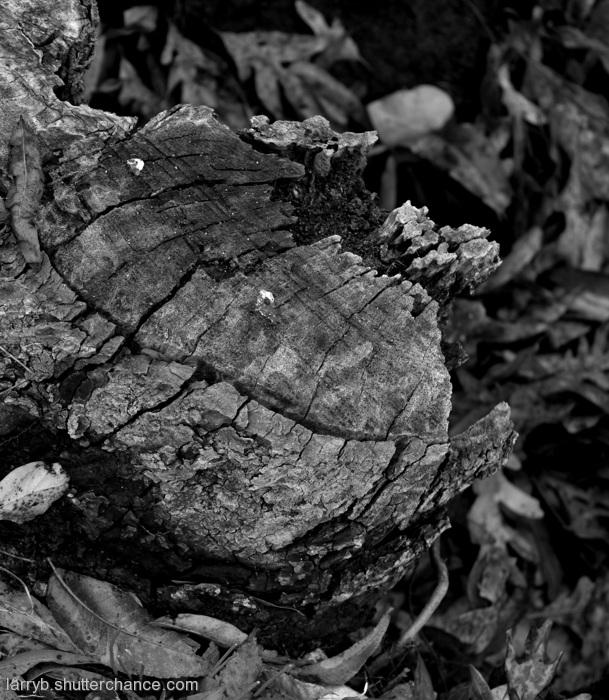 photoblog image Tree Stump Rotting Remnants